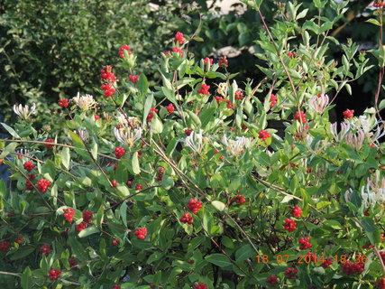 FOTKA - Zimolez, květy a plody na jednom keři 18.7. 2014