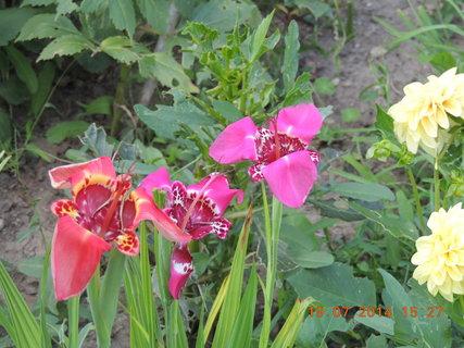 FOTKA - Červená a růžové Tigridie