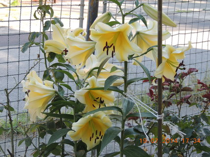 FOTKA - Žluto-bílá lilie 19.7.2014