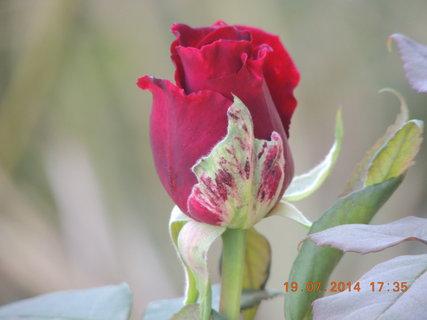 FOTKA - Červené poupátko 19.7. 2014