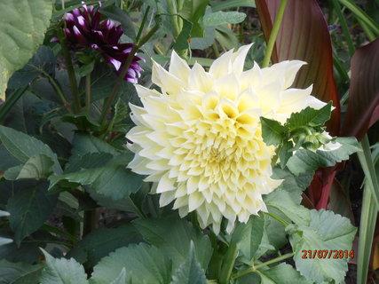 FOTKA - Velký květ jiřinky 21.7. 2014