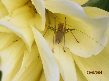 FOTKA - Schovaný v květu jiřinky
