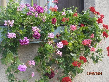 FOTKA - Muškáty na okně 21.7. 2014