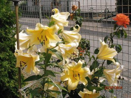 FOTKA - Žlutá lilie 22.7.2014