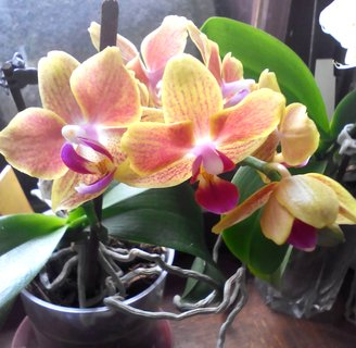 FOTKA - mini phalaenopsis