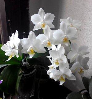 FOTKA - Bíle kvetoucí orchidej