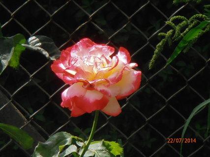 FOTKA - Několik barev na jednom květu 22.7.2014