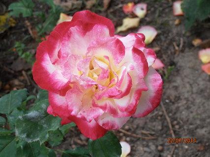 FOTKA - Kuk do květu 22.7. 2014