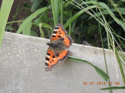 FOTKA - Motýlek se předvádí 26.7. 2014