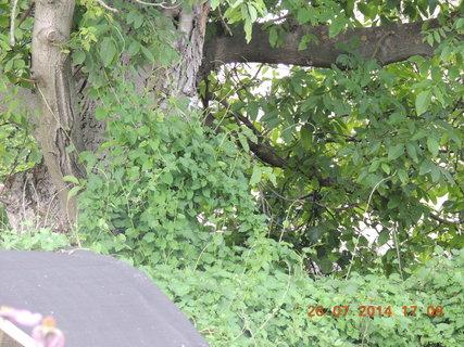 FOTKA - Na ořech se šplhá i keřík