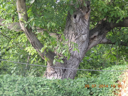 FOTKA - Ořechu jsem pomohla od větviček pnoucích se do koruny stromu