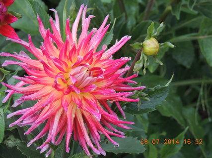 FOTKA - Jiřinka - každý květ je krásný 28.7 2014