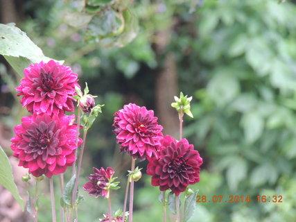 FOTKA - Jiřinky - každý květ je krásný 28.7 2014