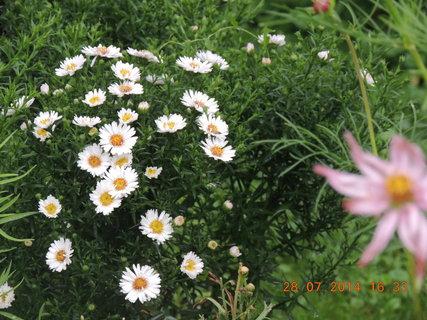 FOTKA - Hvězdnice bílé - 28.7. 2014