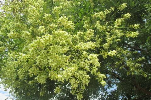 FOTKA - Nedělní poledne -  nádherně rozkvetlý strom