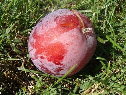 FOTKA - spadnutá slivka na záhrade