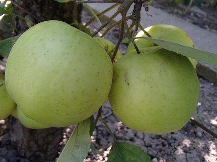 FOTKA - jabĺčok bude dosť