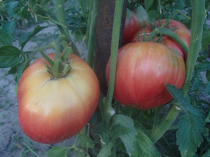 FOTKA - paradajky tiež zrejú