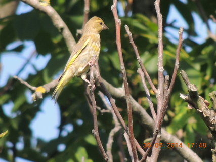 FOTKA - Ořech je stále obletován ptáčky 30.7.