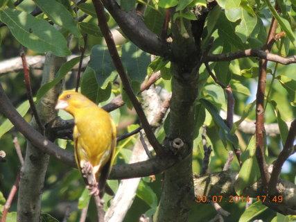 FOTKA - Těchto žlutých zvědavců je stále ve větvích plno