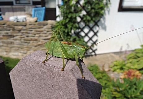 FOTKA - kobylka zelená