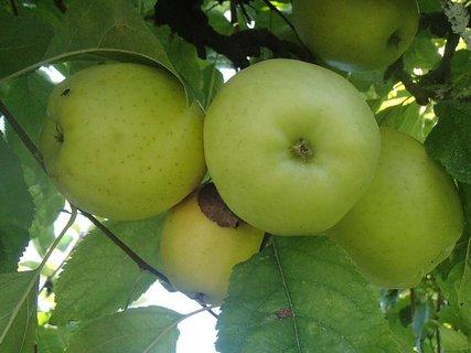 FOTKA - ukazuje sa aj úroda jabĺk