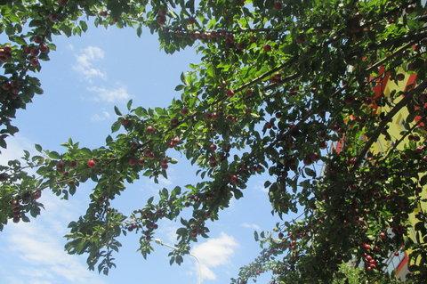 FOTKA - Srpnová jablíčka