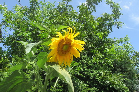 FOTKA - Srpnová slunečnice