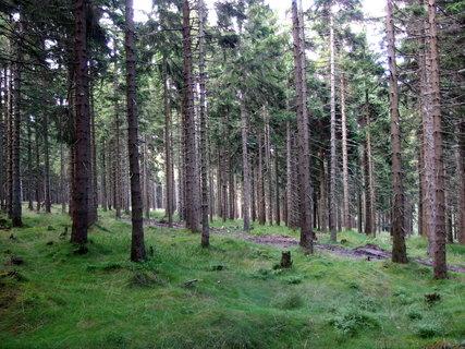 FOTKA - ve smrkovém  lese