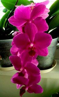 FOTKA - Stále kvetoucí orchidea...