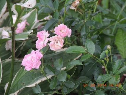 FOTKA - Růžová drobnokvětá růžička 1.8. 2014