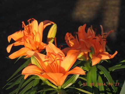 FOTKA - Oranžové lilie 2.8. 2014