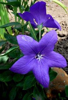 FOTKA - Bílá středová hvězdice v modrém