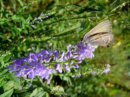 FOTKA - Rub motýlův