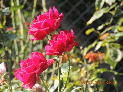 FOTKA - Tři květy růží v raním slunci