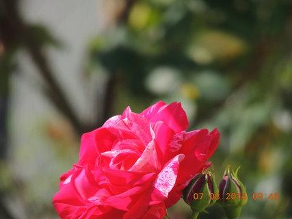 FOTKA - Růže se sluní 7.8. 2014