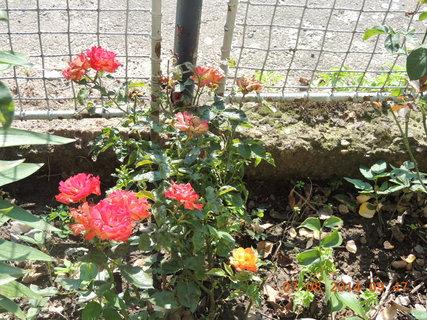 FOTKA - Růže Rumba - co květ to originál zbarvení 7.8. 2014