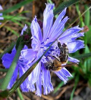 FOTKA - Poloprofil včelky na čekance