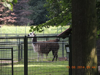 FOTKA - Lama v zámeckém parku