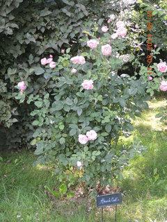 FOTKA - V parku je hodně růží