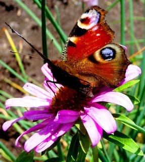 FOTKA - Motýl s kopím