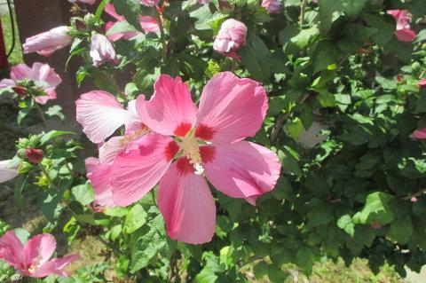 FOTKA - Růžové potěšení