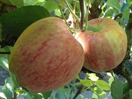 FOTKA - jabĺčka na zimu