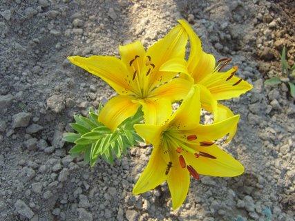 FOTKA - žlutá lílie