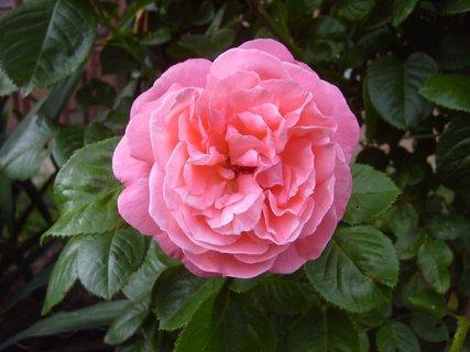 FOTKA - růžová růžička