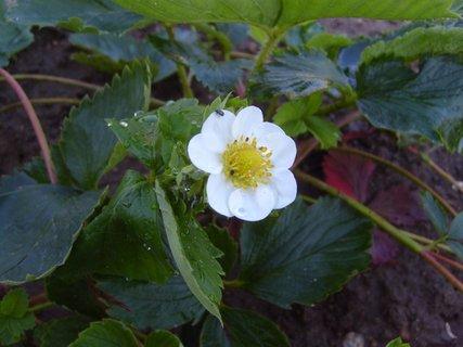 FOTKA - kvetoucí jahoda