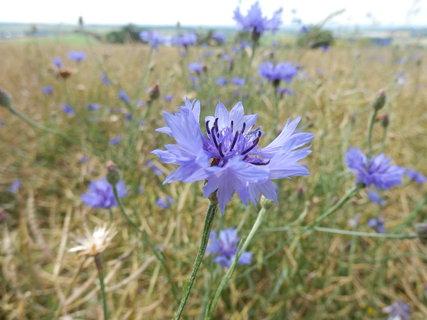 FOTKA - chrpy na kraji pole