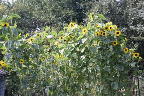 FOTKA - plot plný slunečnic