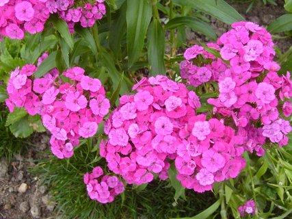 FOTKA - hvozdíky  -  růžové