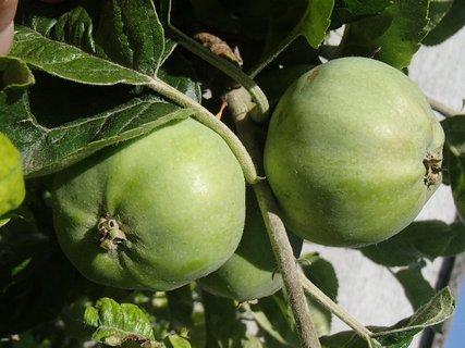 FOTKA - tieto jabĺčka sú ešte zelené